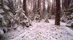 Little spruce trees and tall ones covered in snow Stock Footage