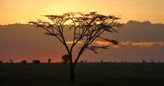 Serengeti Acacia Sunset Stock Footage
