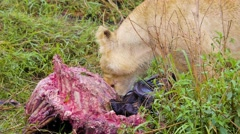 Lion eating carcass of wildebeest close 02 Stock Footage