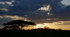 Acacia Tree Sunset Stock Footage