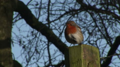 Close up of Robin red breast on post in England in winter Stock Footage
