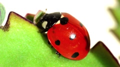 Ladybird insect close-up Stock Footage