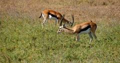 Thompson's Gazelle Stock Footage