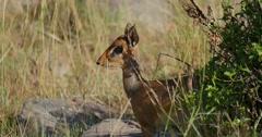 Dik Dik Antelope Stock Footage