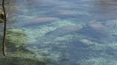 Manatees in Three Sisters Spring Stock Footage