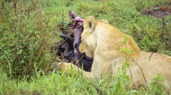 Lion eating carcass of wildebeest medium 03 Stock Footage