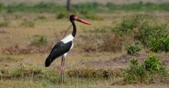 Saddle-billed Stork Stock Footage