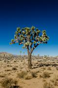 Joshua Tree Standing Alone on Clear Day Stock Photos