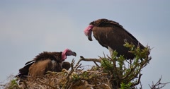 Vultures Nesting Stock Footage