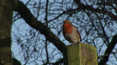 Robin calling to its mate in England in winter - stock footage