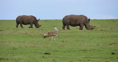 Kori Bustard and Rhinos Stock Footage