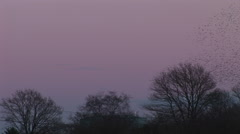 Natural pink evening sky as flock of starlings fly in the evening sky Stock Footage
