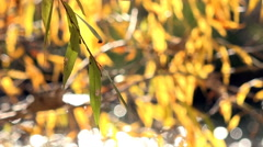 Willow Branches With Yellow Leaves Stock Footage