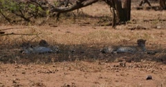 Mother Cheetah and two cubs resting in the shade Stock Footage