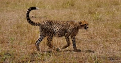 Young Cheetah walks with full belly - stock footage