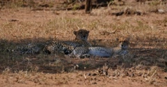 Mother Cheetah and two cubs resting in the shade - stock footage