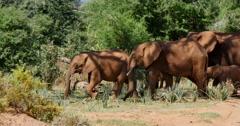 Elephant Herd Walking - stock footage