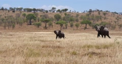 Elephant Herd Walking - stock footage