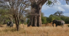 Elephants Under Baobab Tree - stock footage