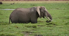 Elephant feeding in marsh - stock footage