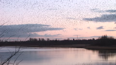 Pink sunset as murmuration of starlings fly over a lake in England Stock Footage