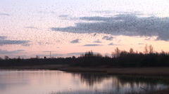 Beautiful evening sky as starlings fly over a lake flock of birds murmuration - stock footage