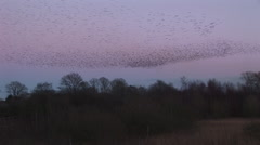 Birds make shapes in evening sky murmuration - stock footage