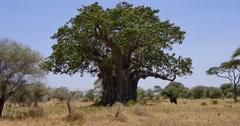 Giraffe and Giant Baobab Tree Stock Footage