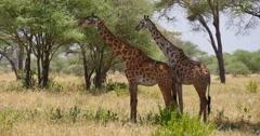 Giraffe and Acacias Stock Footage
