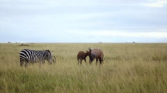 Topi and Zebra eating in the grassland Stock Footage