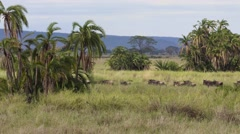 Herd of wilebeest running agains a palm backdrop - stock footage