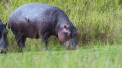 Hippos eating 02 Stock Footage