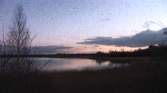 Beautiful evening scene of starlings over lake murmuration Stock Footage