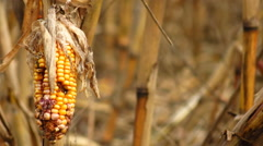 Corn destroyed by drought Stock Footage