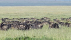 Herd of wildebeest 01 Stock Footage