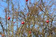 Old red apples on dry apple tree in mild winter Stock Photos