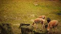 The guanaco (Lama guanicoe) - stock footage