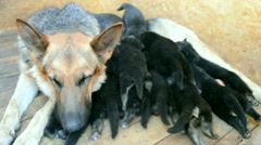 Large adult German Shepherd and small puppies Stock Footage