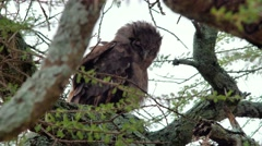 Milky eagle owl close Stock Footage