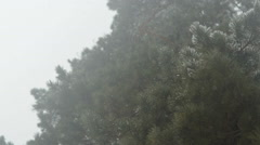 Snow falls on the background of fir trees. Stock Footage