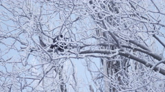 On snow covered branch sits crow flys Stock Footage