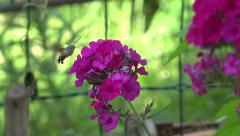 Insect like hummingbird flies around flower, hawk-moth Stock Footage