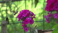 Stock Video Footage of Insect like hummingbird flies around flower, hawk-moth