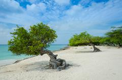 Divi Divi trees on  Eagle Beach in Aruba - stock photo