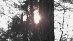 Evening sun in the forest between trees. Sunset in the forest. Stock Footage