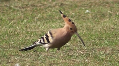 Hoopoe (Upupa epops) close up Stock Footage