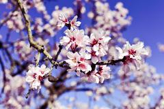 Almond tree in full bloom Stock Photos