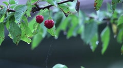 Branches with leaves and cherry fruit that is in the warm summer rain beating Stock Footage