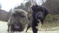 Puppies at play, trying to catch room are filmed Stock Footage