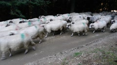 White herd of sheep passing through a dense pine forest, along a forest road Stock Footage